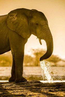 IBXDRN05049126 African elephant (Loxodonta africana) drinking at a waterhole, Nxai Pan National Park, Ngamiland, Botswana, Africa