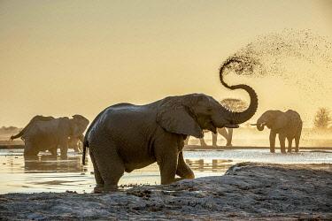 IBXDRN05049215 African elephants (Loxodonta africana), sprayed with mud at a waterhole, Nxai Pan National Park, Ngamiland, Botswana, Africa