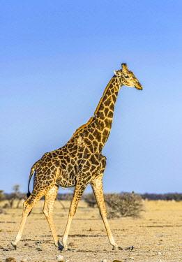 IBXDRN05049302 Angolan Giraffe (Giraffa camelopardalis angolensis), injured, running in dry savannah, Nxai Pan National Park, Ngamiland, Botswana, Africa