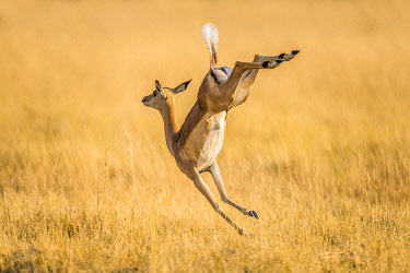 Impala (Aepyceros melampus), female jumping on the run, Moremi wildlife Reserve, Ngamiland, Botswana, Africa