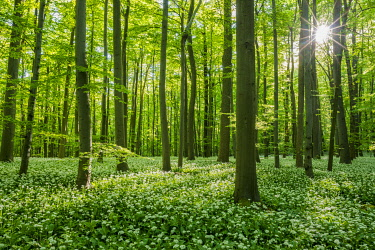 IBXFSO04854597 Common Beech forest (Fagus sylvatica) with flowering Ramsons (Allium ursinum), Hainich National Park, Thuringia, Germany, Europe