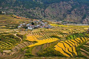 IBXGVA04291274 Yellow rice fields, terraces, village Teoprongchu, Bhutan, Asia
