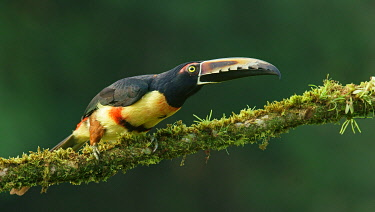 IBXMKH04872048 Collared aracari (Pteroglossus torquatus) sits on mossy branch, Costa Rica, Central America