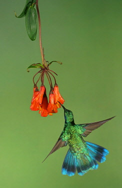 IBXMKH04872138 Mexican violetear (Colibri thalassinus) in flight, drinking nectar on a red flower, Costa Rica, Central America