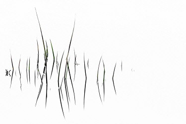 IBXSEI04905002 Grass blades with reflection on water surface, abstract, Ambleside, Lake District National Park, Central England, Great Britain