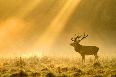 IBXSHU04908378 Enormous Red deer (Cervus elaphus), Sunrise with sunrays in early fog, Jägersborg, Denmark, Europe