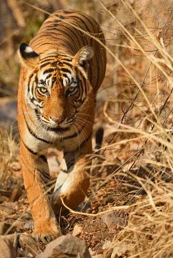 IBLADS04459492 Bengal Tiger (Panthera tigris tigris) walking, Ranthambhore National Park, Rajasthan, India, Asia