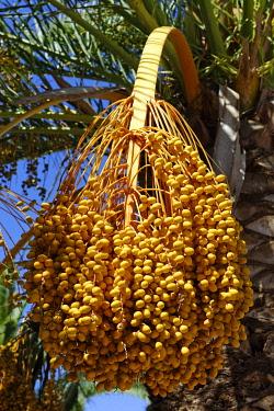 IBLDWB01822634 Fruit of the Date Palm (Phoenix dactylifera), Orosei, Sardinia, Italy, Europe