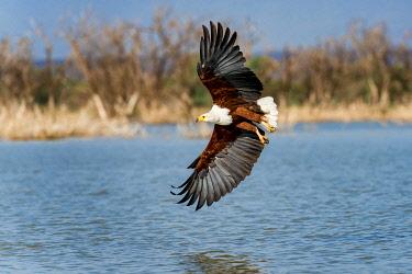 IBXERI04258494 African fish eagle (Haliaeetus vocifer) in flight, Lake Baringo, Kenya, Africa