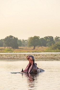 HMS3238579 Burkina Faso, Cascades region, Tengrela, hippopotamus in the great lake