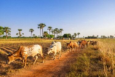 HMS3238594 Burkina Faso, Cascades region, Tengrela, herd of cows and zebus