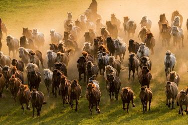 HMS3362279 China, Inner Mongolia, Hebei Province, Zhangjiakou, Bashang Grassland, Mongolian horsemen lead a troop of horses running in a group in the meadow