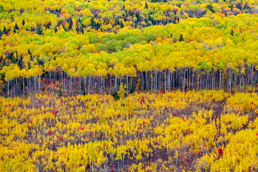 HMS3407853 Canada, province of Quebec, the Charlevoix region seen from the sky, birch forest in the colors of Indian summer (aerial view)