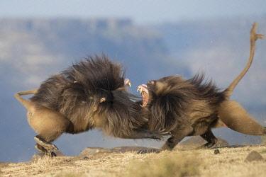 HMS3349175 Ethiopia, Rift Valley, Debre Libanos, Gelada or Gelada baboon (Theropithecus gelada), fight between two males