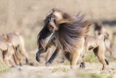 HMS3349286 Ethiopia, Rift Valley, Debre Libanos, Gelada or Gelada baboon (Theropithecus gelada), dominant male, running