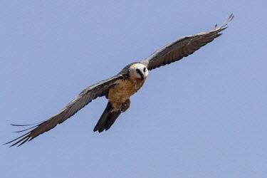 HMS3349297 Ethiopia, Rift Valley, Debre Libanos, Bearded vulture (Gypaetus barbatus), in flight