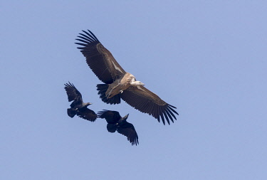 HMS3349310 Ethiopia, Rift Valley, Debre Libanos, White-backed vulture (Gyps africanus) and Fan-tailed raven (Corvus rhipidurus), in flight, raven is attacking