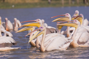 HMS3349578 Ethiopia, Rift Valley, Ziway lake, Great White pelican (Pelecanus onocrotalus) around fishermen boats, they are waiting for the remains of fish thrown by the fishermen
