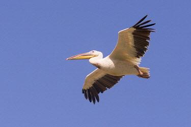 HMS3349586 Ethiopia, Rift Valley, Ziway lake, Great White pelican (Pelecanus onocrotalus), in flight