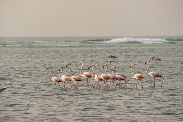 HMS3042241 Guinee Bissau, Bijagos archipelago listed as Reserves Biosphere by the UNESCO, Imbone island, National park of Orango, Greater flamingo, Phoenicopterus roseus