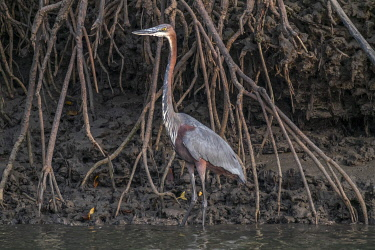 HMS3042247 Guinee Bissau, Bijagos archipelago listed as Reserves Biosphere by the UNESCO, Imbone island, National park of Orango, Goliath heron, Ardea goliath