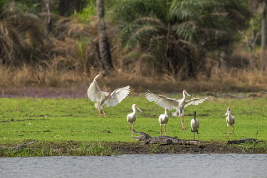 HMS3042250 Guinee Bissau, Bijagos archipelago listed as Reserves Biosphere by the UNESCO, Imbone island, National park of Orango, African spoonbill (Platalea alba) and Nile crocodile (Crocodylus niloticus)