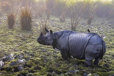 HMS3414334 India, Assam, Kaziranga, unicorne rhinos reservation