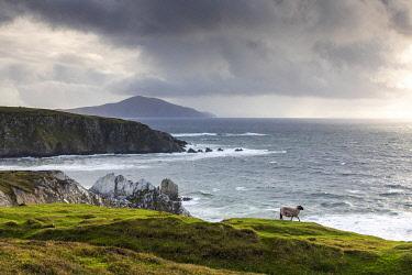 IRL1023AW A sheep walks along the cliffs, Achill Island, County Mayo, Connacht province, Republic of Ireland