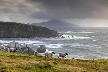 IRL1024AW Sheep walk along the cliffs, Achill Island, County Mayo, Connacht province, Republic of Ireland
