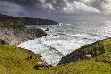 IRL1025AW Sheep walk along the cliffs, Achill Island, County Mayo, Connacht province, Republic of Ireland