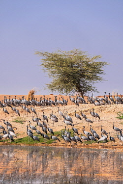 HMS3421745 India, Rajasthan, Khichan, village on the edge of Thar desert and migration place of thousands of cranes Demoiselles (Grus virgo) coming from Siberia