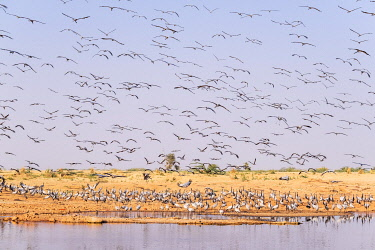 HMS3421749 India, Rajasthan, Khichan, village on the edge of Thar desert and migration place of thousands of cranes Demoiselles (Grus virgo) coming from Siberia