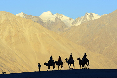 HMS3530537 India, Jammu and Kashmir, Ladakh, Nubra valley, Hundar, Caravan of Bactrian camels at sunset
