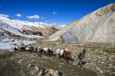 HMS3422507 India, state of Jammu and Kashmir, Himalaya, Ladakh, Hemis National Park, trekking from Chilling to Chogdo in the Markha valley, caravan of horses beaten to Nimaling camp