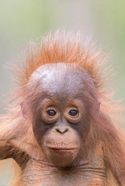 HMS3526335 Indonesia, Borneo, Tanjung Puting National Park, Bornean orangutan (Pongo pygmaeus pygmaeus), Baby