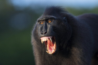 HMS3526536 Indonesia, Celebes, Sulawesi, Tangkoko National Park, Celebes crested macaque or crested black macaque, Sulawesi crested macaque, or the black ape (Macaca nigra), Adult male