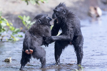 HMS3526614 Indonesia, Celebes, Sulawesi, Tangkoko National Park, Celebes crested macaque or crested black macaque, Sulawesi crested macaque, or the black ape (Macaca nigra), in the river