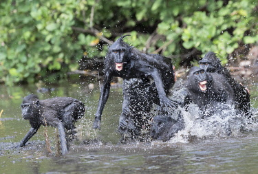 HMS3526637 Indonesia, Celebes, Sulawesi, Tangkoko National Park, Celebes crested macaque or crested black macaque, Sulawesi crested macaque, or the black ape (Macaca nigra), in the river