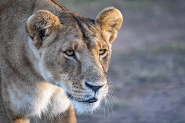 HMS3452756 Kenya, Masai Mara Game Reserve, lion (Panthera leo), female looking at a prey