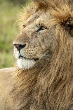 HMS3452768 Kenya, Masai Mara Game Reserve, lion (Panthera leo), male