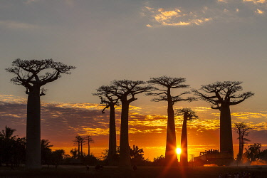 HMS3227156 Madagascar, Menabe region, Morondava, alley of the baobabs, Grandidier's Baobabs (Adansonia grandidieri)