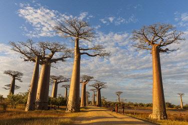 HMS3227220 Madagascar, Menabe region, Morondava, alley of the baobabs, Grandidier's Baobabs (Adansonia grandidieri)