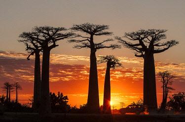 HMS3227221 Madagascar, Menabe region, Morondava, alley of the baobabs, Grandidier's Baobabs (Adansonia grandidieri)