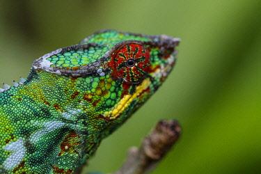 HMS3227339 Madagascar, East, a panther chameleon (Furcifer pardalis)