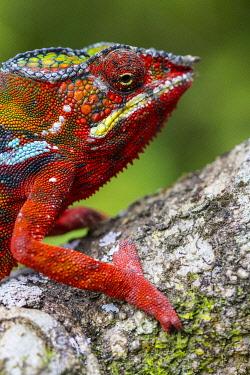 HMS3227341 Madagascar, East, a panther chameleon (Furcifer pardalis)