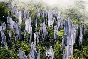 HMS3335573 Malaysia, Borneo, Sarawak, Gunung Mulu National Park listed as World Heritage by UNESCO, the Pinnacles, a series of 45 meter high razor-sharp limestone spikes that tower above the surrounding vegetati...