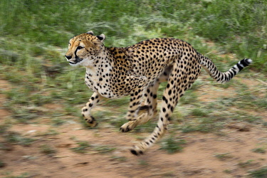 HMS3126383 Namibia, Otjiwarongo, Cheetah Conservation Fund, research and education centre, cheetah (Acinonyx jubatus) trained to run to keep fit and healthy