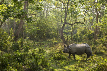 HMS3625455 Nepal, Chitwan National Park, Greater One-horned Rhino (Rhinoceros unicornis) in the forest