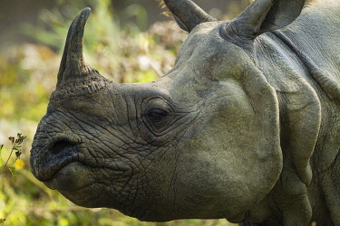 HMS3625456 Nepal, Chitwan National Park, portrait of a Greater One-horned Rhino (Rhinoceros unicornis)