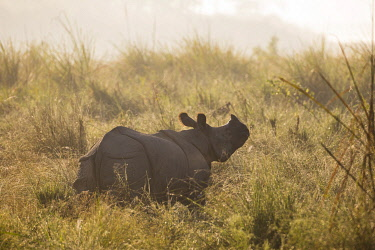 HMS3625468 Nepal, Chitwan National Park, Greater One-horned Rhino (Rhinoceros unicornis) in the grassland in the morning